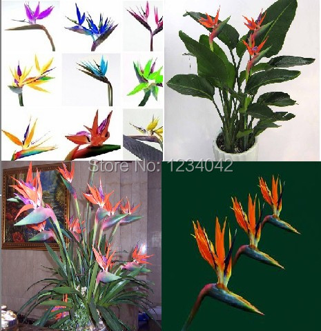 Free shipping 100 pc exotic indoor mini potted colorful flowers strelitzia seeds bonsai plants - Indoor colorful plants ...