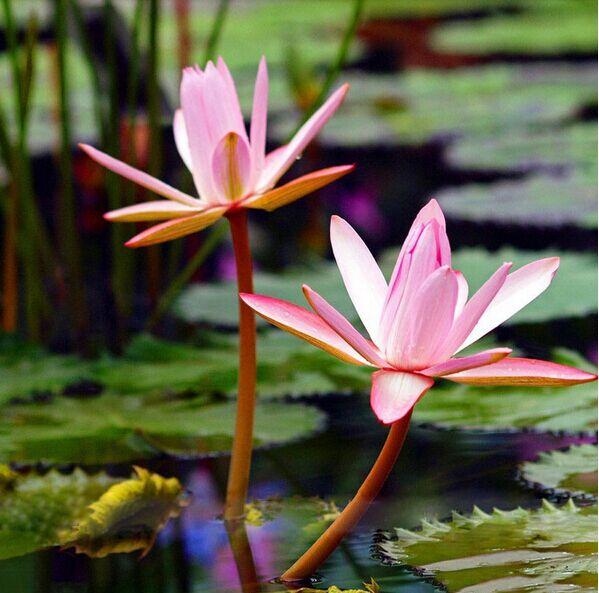 vente en gros lotus graines de fleurs d 39 excellente qualit de grossistes chinois lotus graines. Black Bedroom Furniture Sets. Home Design Ideas