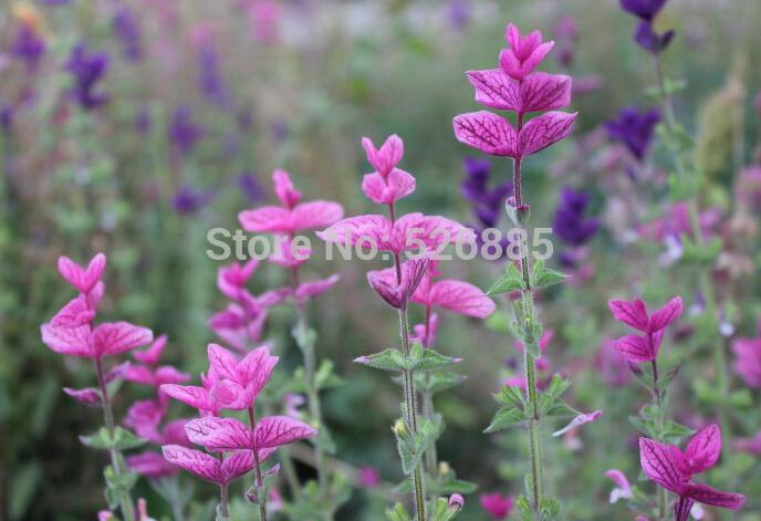free shipping Pink Butterfly Sage,Butterflies sage, sage Flowers seeds - 50 Seed particles(China (Mainland))