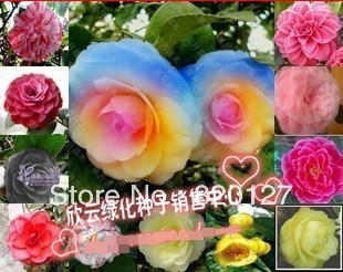 48 Seeds Chinese camellia seeds,multicolor(24 colours,2 seeds/color),four seasons broadcast Potted plant - Winny Store store