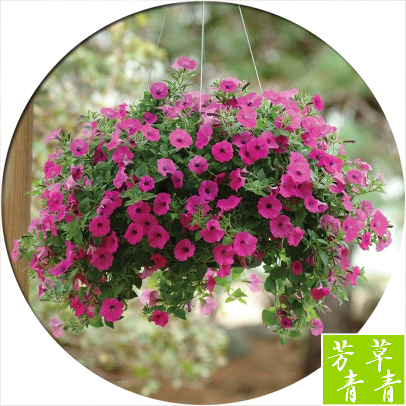 200seed vary colors Hanging petunia seed sowing summer and autumn seasons indoor balcony easy to plant flower seeds(China (Mainland))