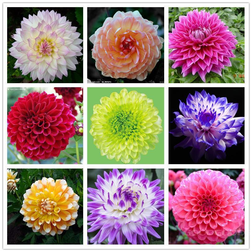 Dahlia Flowers in Pots 90 Seeds/bag Flower Pots