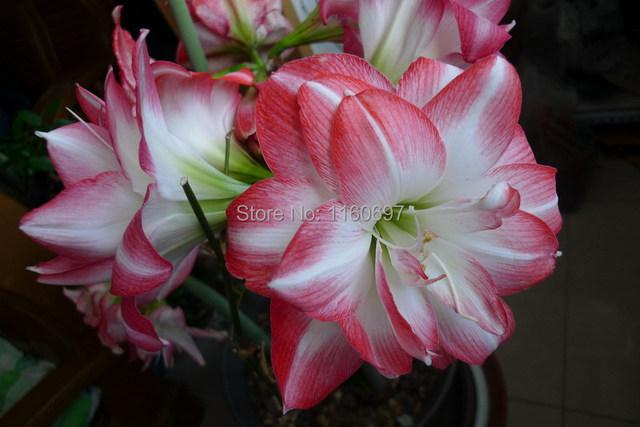 Flower bulbs peach 2bulbs amaryllis seeds sementes de for Amaryllis planter bulbe