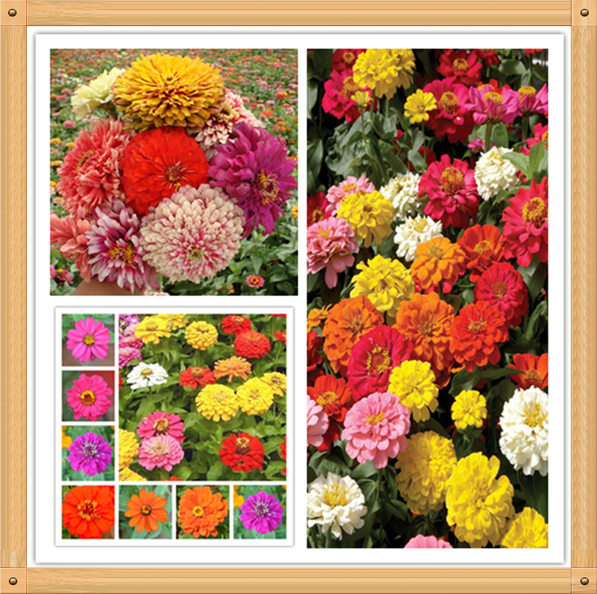 20PC Authentic zinnia seeds. Colorful flowers bonsai seeds, all kinds of colors, simple planting(China (Mainland))